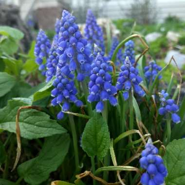 Grape Hyacinth (Species) Armenian Grape Hyacinth