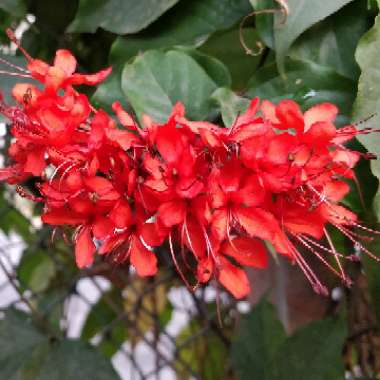 Clerodendrum splendens