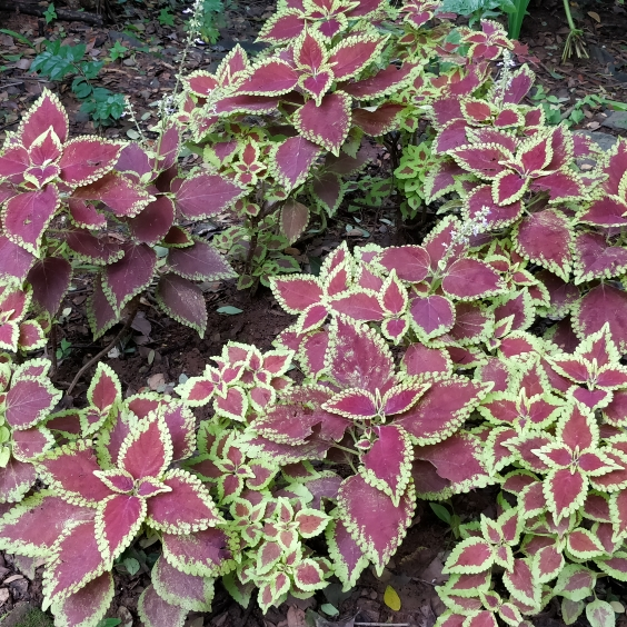 Plant image Solenostemon Scutellarioides 'Kong Red'