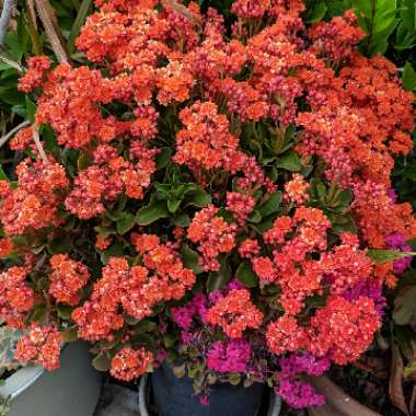 Flaming Katy 'Double Flower Variety'