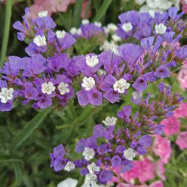 Sea Lavender 'Pacific Mix'