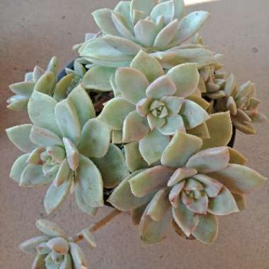 Graptoveria 'Marpin'