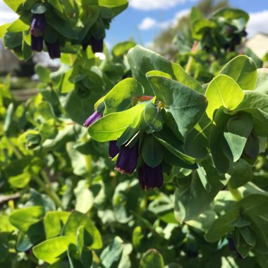 Greater Honeywort 'Purpurescens'