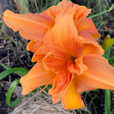 Day Lily 'Flower Basket'