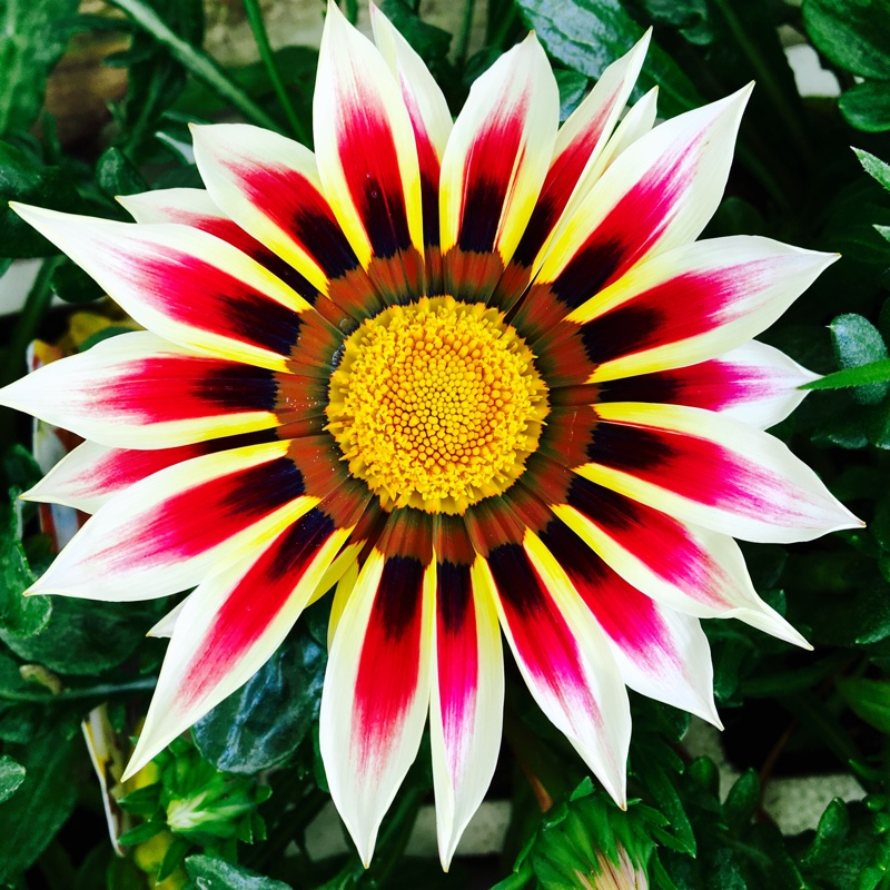Plant Gazania (unknown variety)