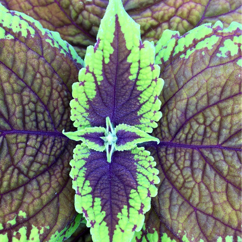 Plectranthus scutellarioides (Unknown Variety)