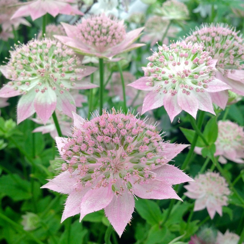 Astrantia (Unknown Variety)