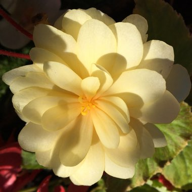 Begonia tuberhybrida 'Illumination Peaches 'N' Cream'