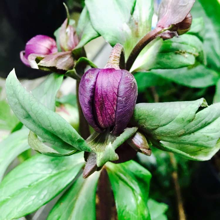 Plant image Helleborus x hybridus 'Harvington Double Chocolate'