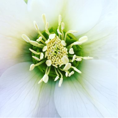 Helleborus x hybridus 'Single White'