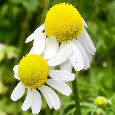 Anthemis nobile 'Treneague'