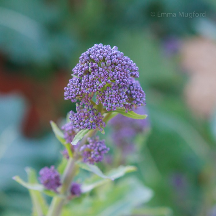 Plant image Brassica oleracea (Italica Group) 'Purple Sprouting'
