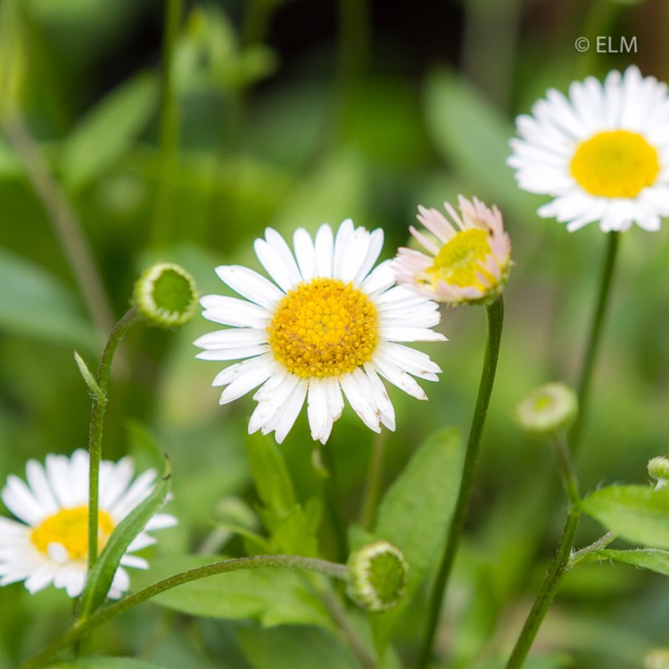 how to grow erigeron karvinskianus