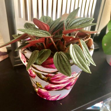 Peperomia 'Rosso'