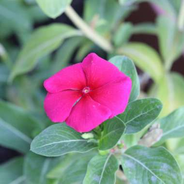 Rosy periwinkle