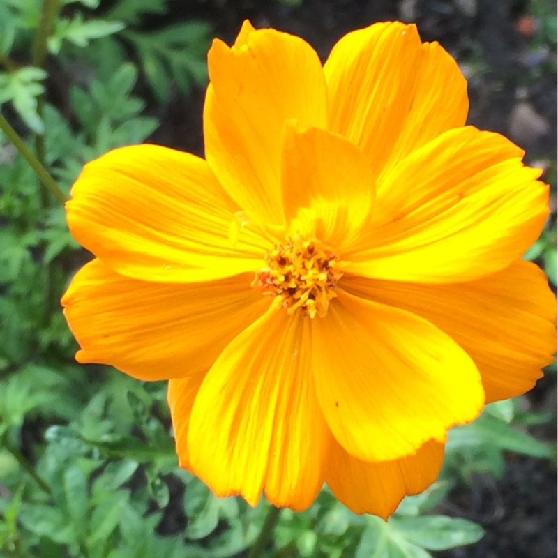 Plant image Cosmos Sulphureus 'Bright Lights' (Mixed)