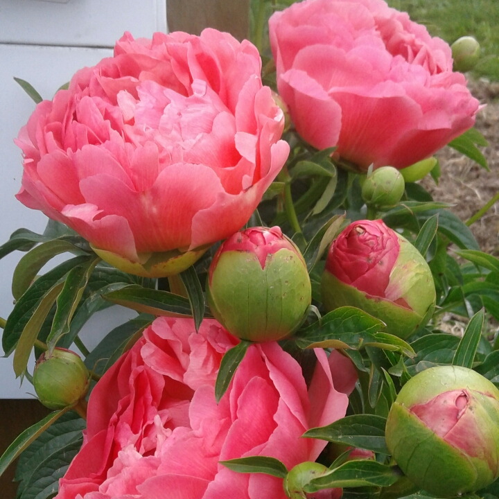 Plant image Paeonia 'Coral Charm'