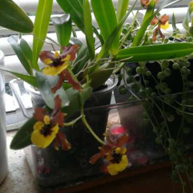 Oncidium Longpipes