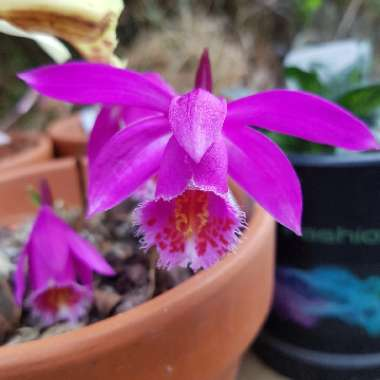 Windowsill Orchid 'Tongariro'