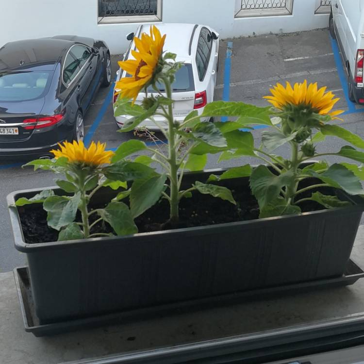 Plant image Helianthus annuus ' Dwarf Yellow Spray'