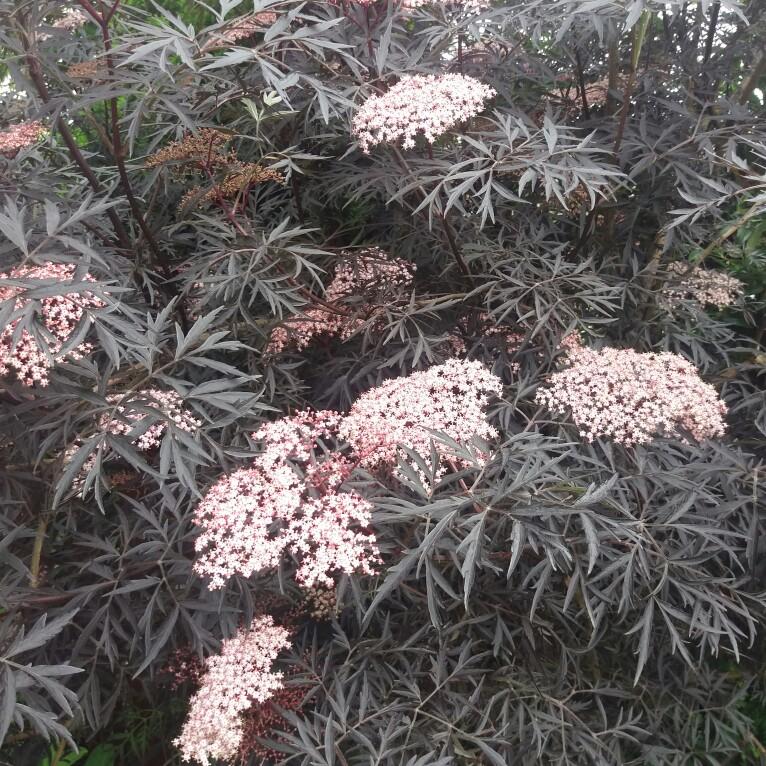 sambucus nigra f porphyrophylla 39 black lace 39 elderflower black lace uploaded by garyg. Black Bedroom Furniture Sets. Home Design Ideas
