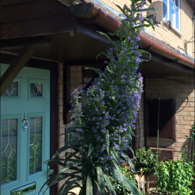 Plant image Echium (Unknown Variety)