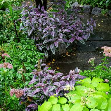 Strobilanthes dyeriana 'Persian Shield'
