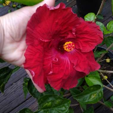 Hibiscus 'Hollywood'