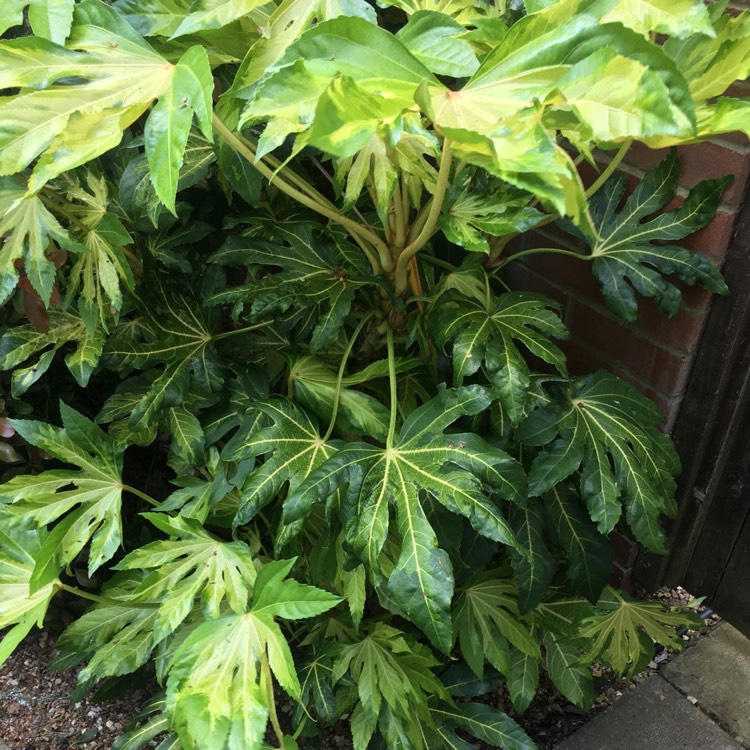 Plant image Fatsia japonica 'Annelise'