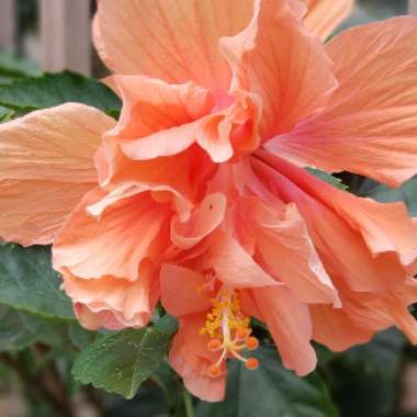 Tropical Hibiscus 'Apricot Brandy'