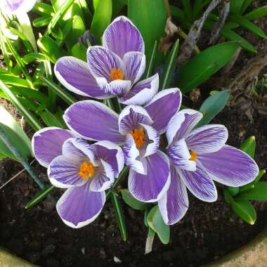 Crocus 'King of the Striped'