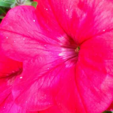 Trailing Petunia 'Deep Red'