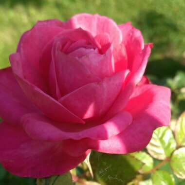 Rose (Miniature)
