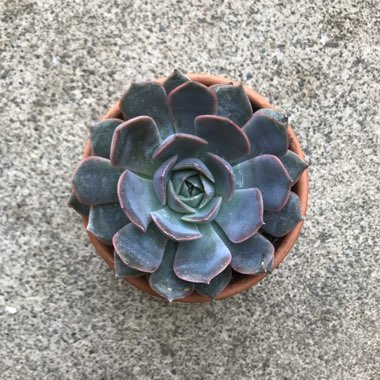 Echeveria 'Orion'