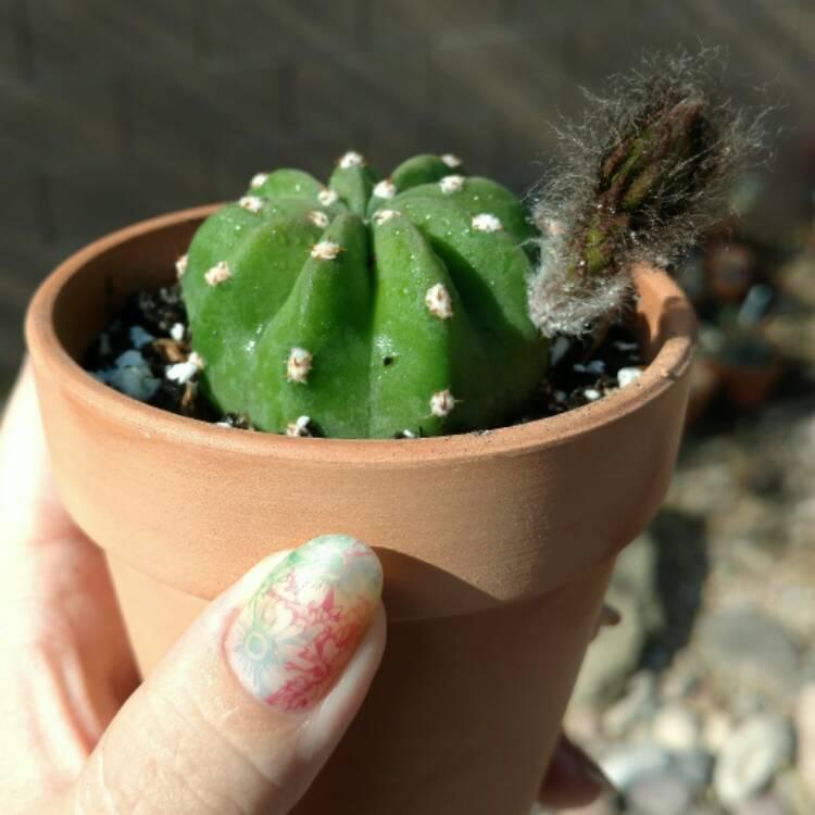 Echinopsis subdenudatum 'Dominos', Cactus'Dominos ... Echinopsis Dominos