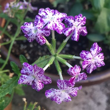 Verbena 'Lanai™Upright Purple Mosaic'
