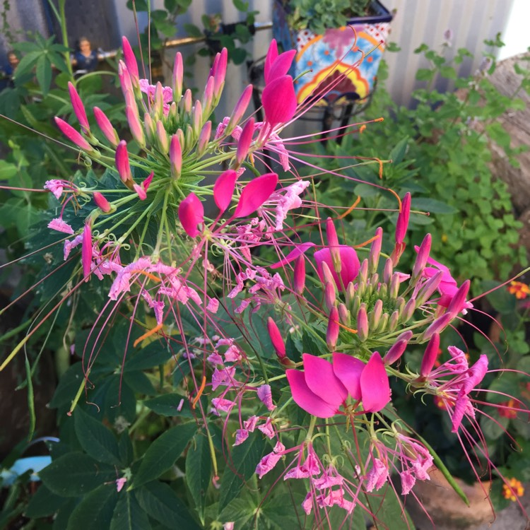 Plant image Cleome spinosa, 'Cherry Queen'