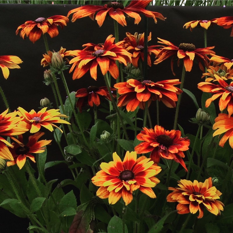 Coneflower 'Cherokee Sunset'