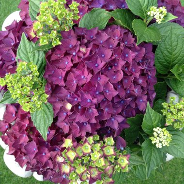 Hydrangea 'Deep Purple Dance'