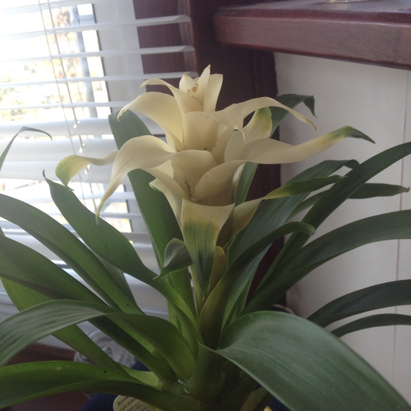 Bromeliad (unknown variety)