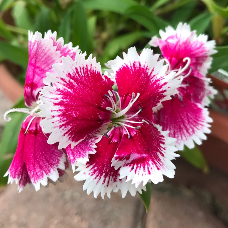 Plant image Dianthus chinensis 'Super Parfait Red Peppermint'