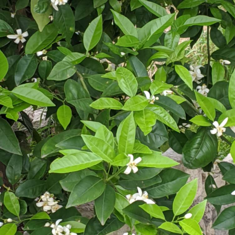 Plant image Citrus sinensis 'Washington Navel'