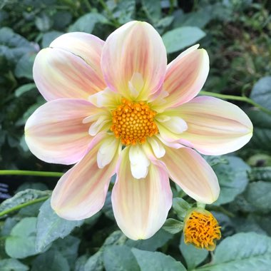 Dahlia 'April Heather' (Collerette)
