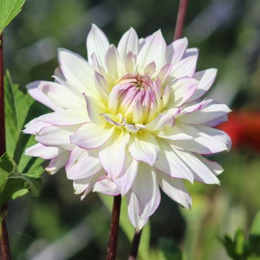 Dahlia 'Crazy Love' (Decorative)