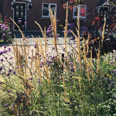 Feather Reed Grass 'Overdam'