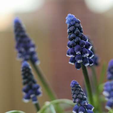 Grape Hyacinth 'Joyce Spirit'