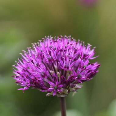 Allium hollandicum 'Purple Sensation' syn. Allium 'Purple Sensation', Allium aflatunense 'Purple Sensation'