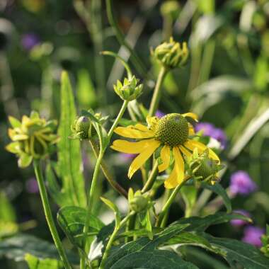 Coneflower 'Goldquelle'