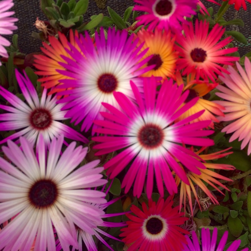 Mesembryanthemum criniflorum 'Magic Carpet' (Dorotheanthus bellidiformis)