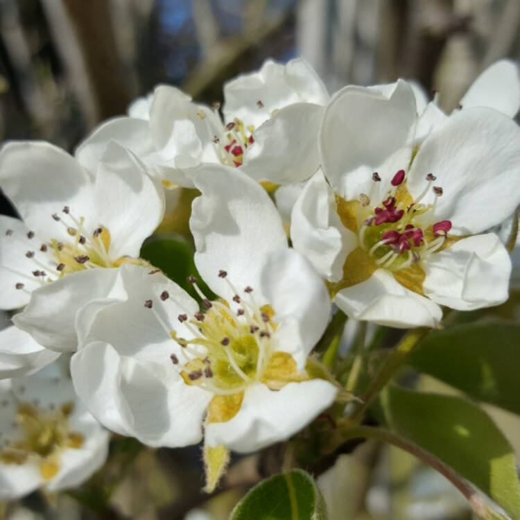 Plant image Pyrus (Unknown Variety)